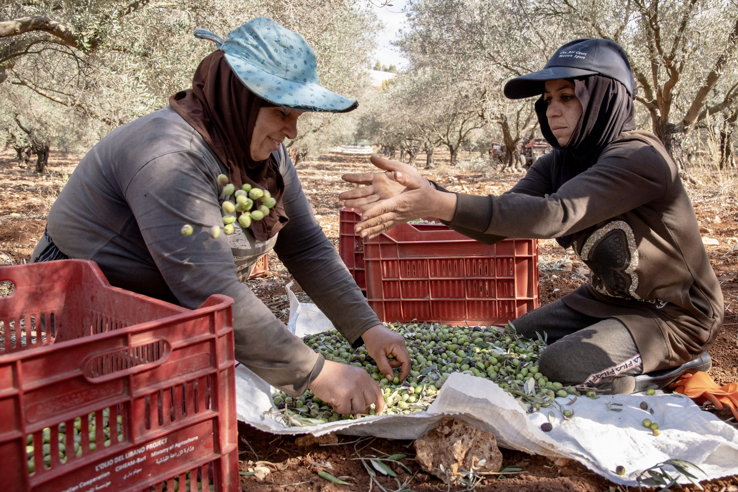 Women harvest pistachios in an orchard