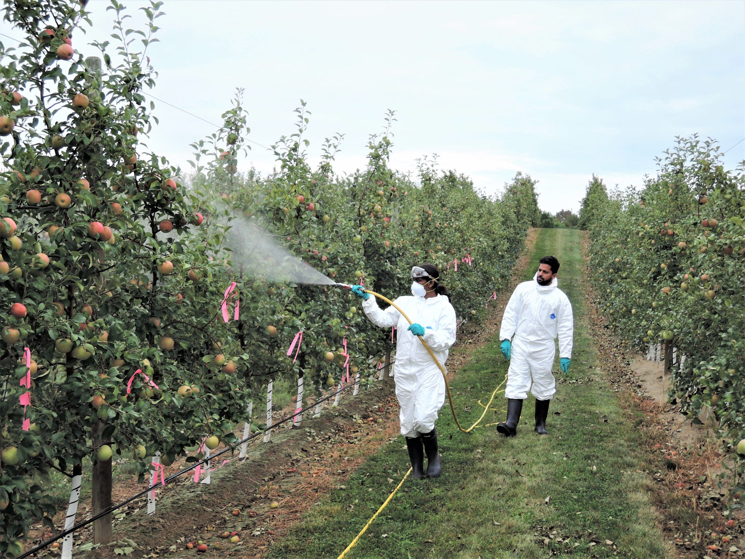 Karthika and assistant spray hexanal in an apple orchard.
